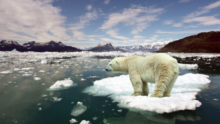 Global warming affecting polar bears