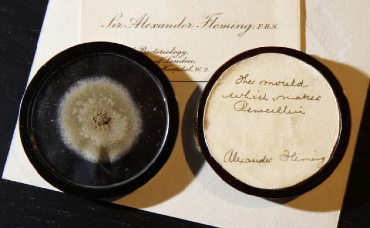 Mould spores as grown by Alexander Fleming