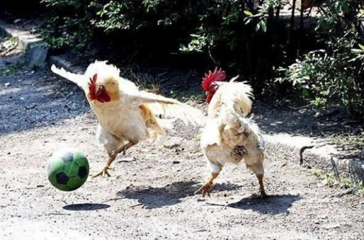 Two roosters with a ball
